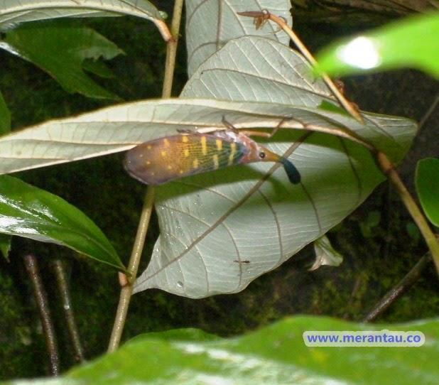 serangga unik kalimantan