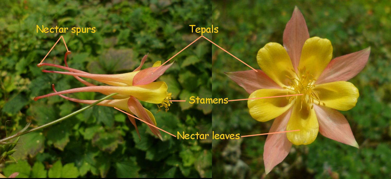 Flower tales june 2012 side view left and front view right of aquilegia flower dhlflorist Image collections