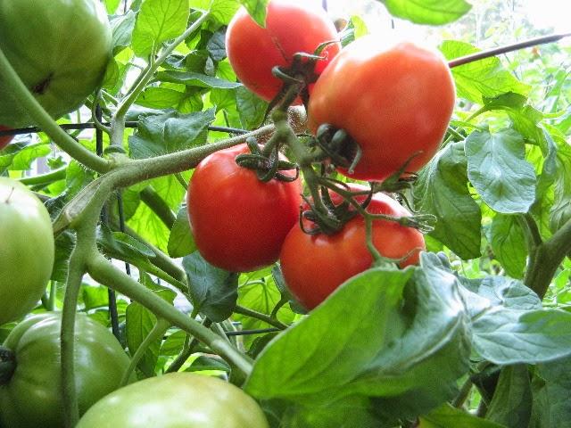 Mortum perkecambahan tanaman buah tomat ccuart Images