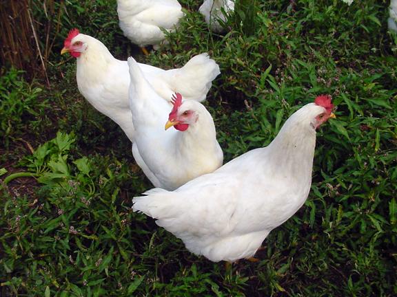 Tetra Tint Chickens