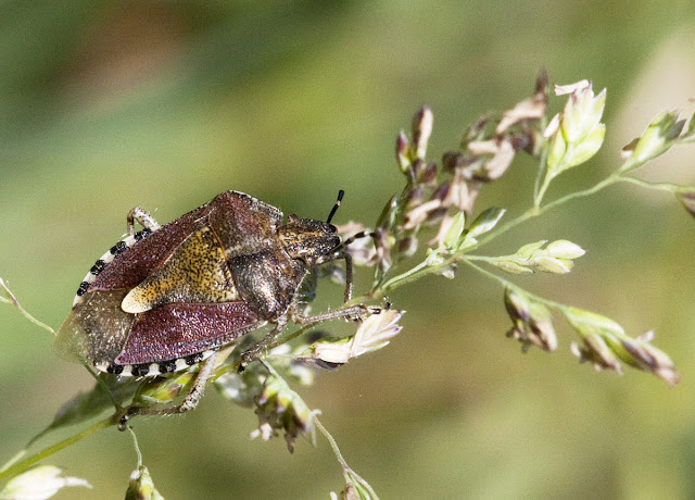 Sloe bug, Dolycoris baccarum, on the edge of the meadow at Darrick Wood. 22 May 2011.