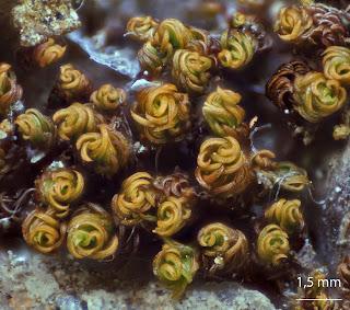 foto del musgo Pseudocrossidium revolutum de la familia Pottiaceae