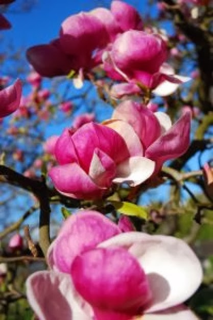 Invernablog las magnolias en nuestro jard n - Magnolia grandiflora cuidados ...