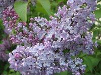 Aromatic lilac blossom
