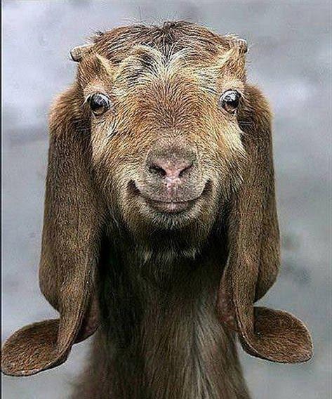 gambar kambing lawak