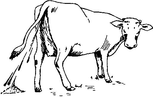 Dịch tả trên trâu, bò. Ảnh minh họa