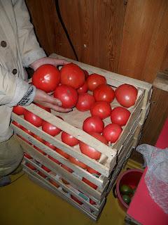 дозаривающиеся помидоры