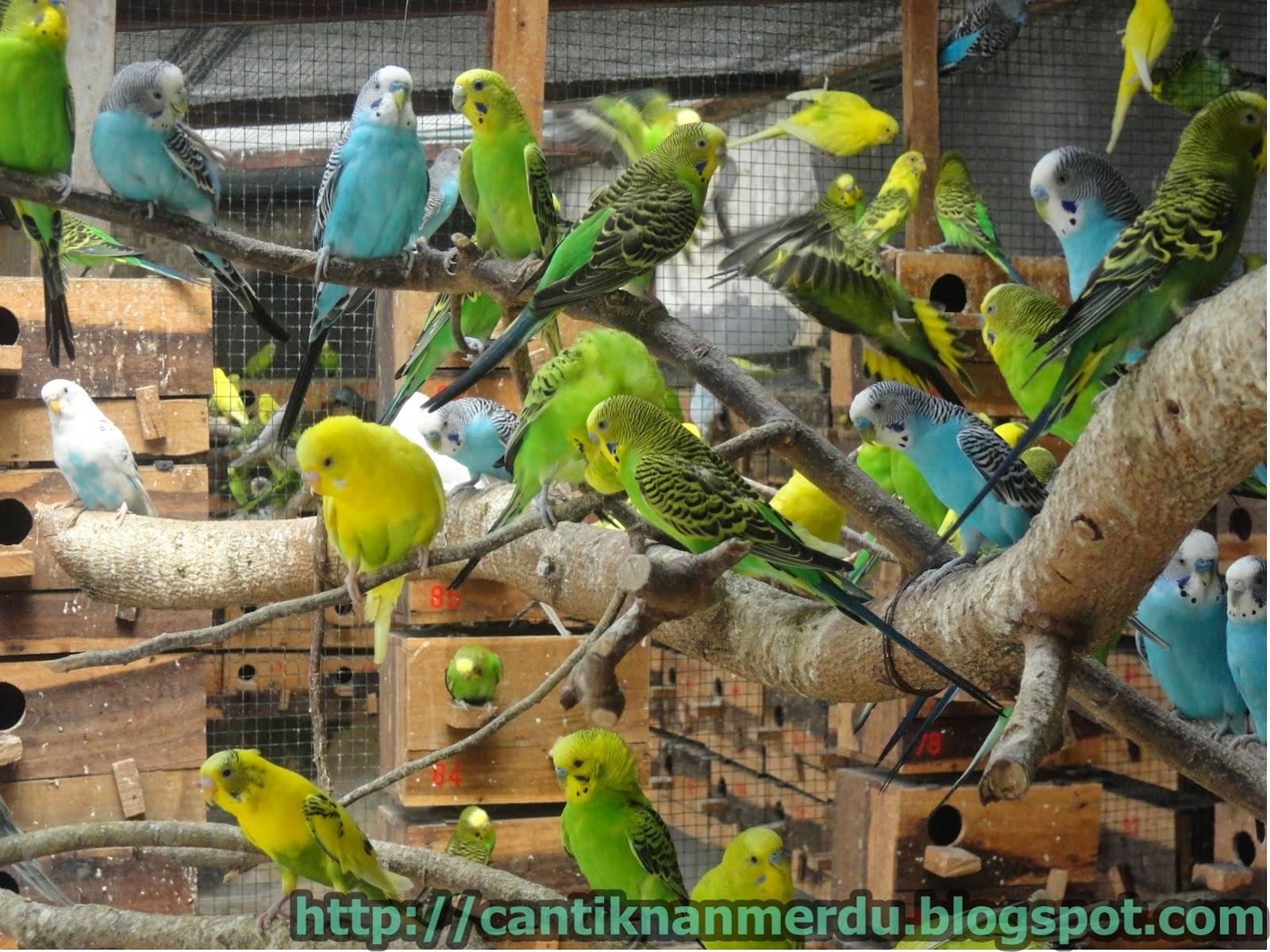 budidaya burung mengenal burung parkit burung cantik yang
