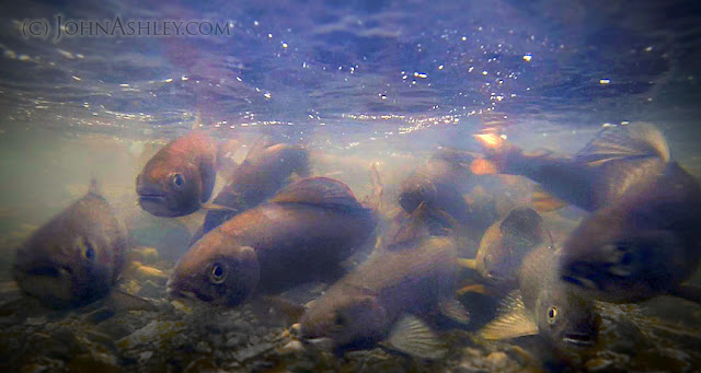 Spawning Arctic Grayling (c) John Ashley