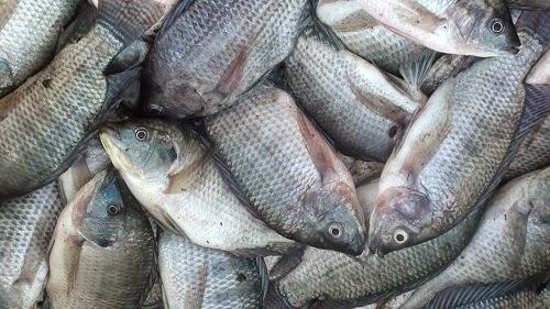 kandungan gizi ikan nila