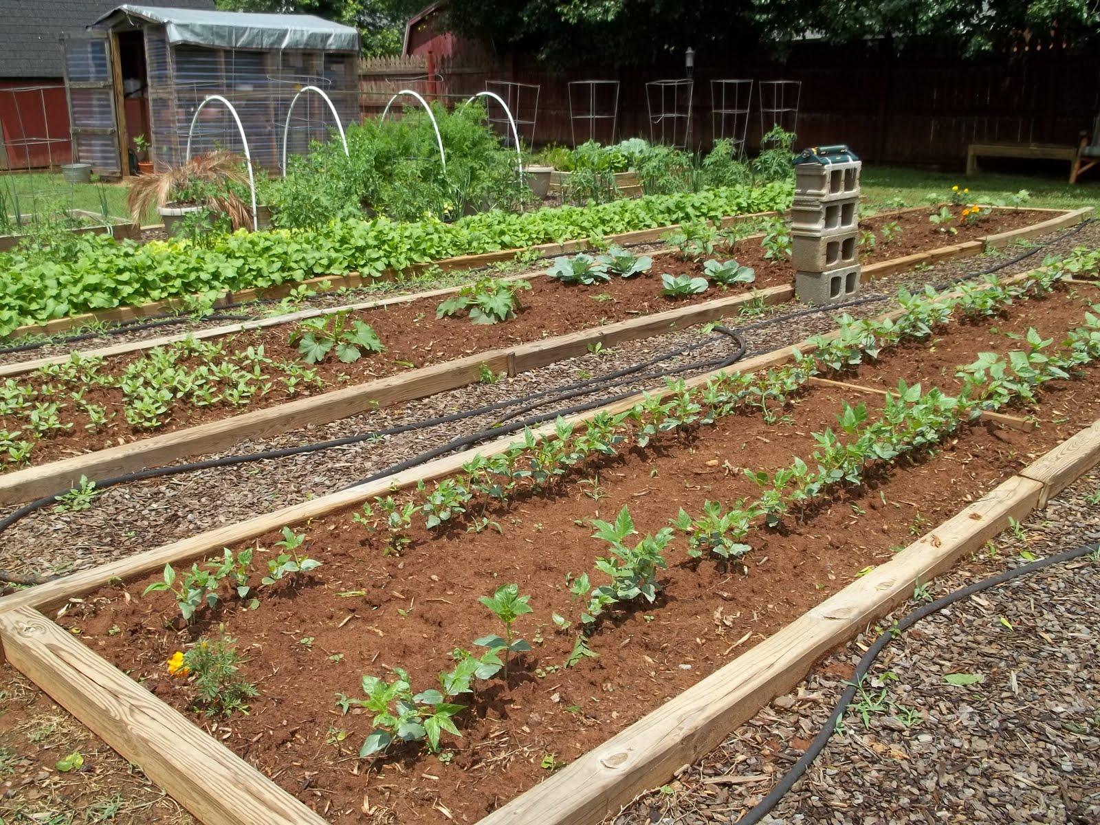 Garden Fresh Heirlooms: Purple Hull Peas