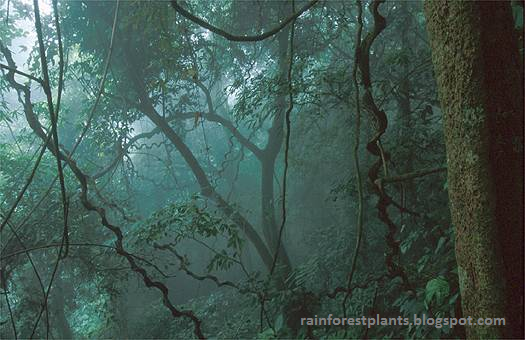 Rainforest plants rainforests have so many plants and animals more