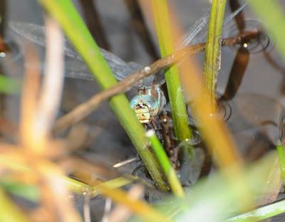 Black-tipped Darner (Aeshna tuberculifera)