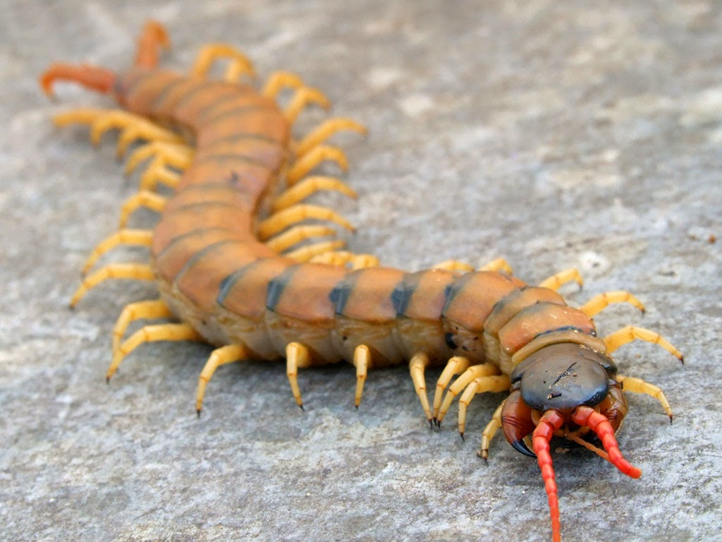 R Centipedes Poisonous a really painful bite that