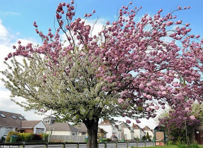 Cherry Tree with Differently Colored Blossoms