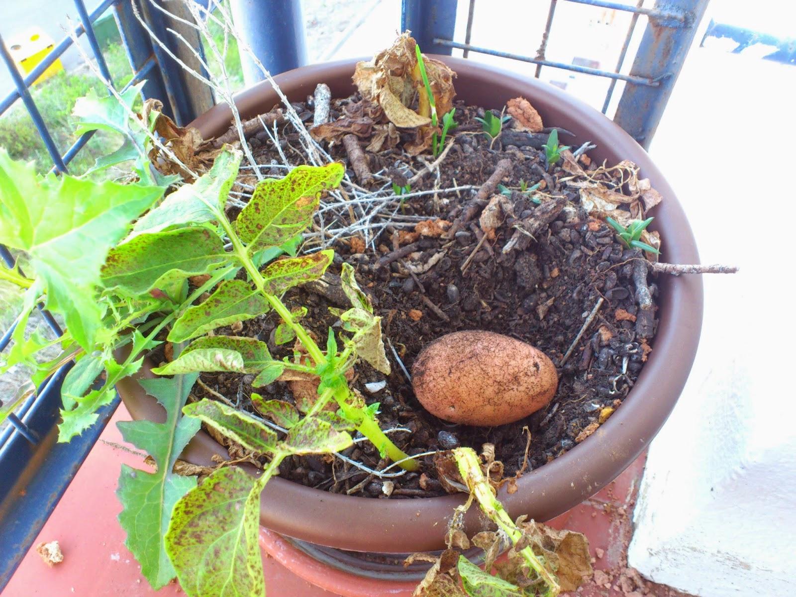 Reciclatex Cosecha de patatas en una maceta - Proyecto Huerto
