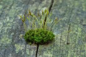 Lumut (Bryophytes)
