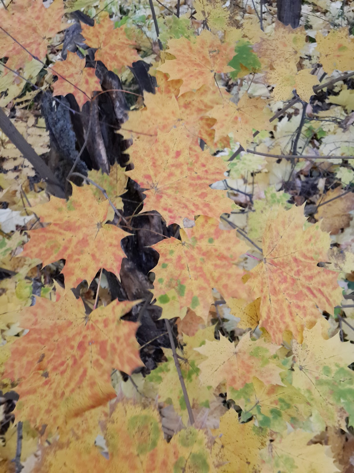 золото желтый клен осень