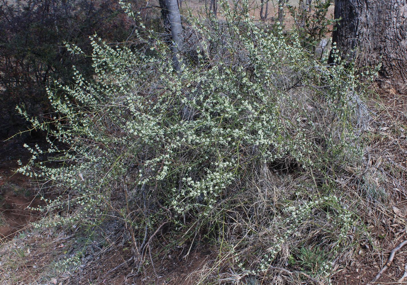 Toowoomba Plants: Hairy Anchor Plant