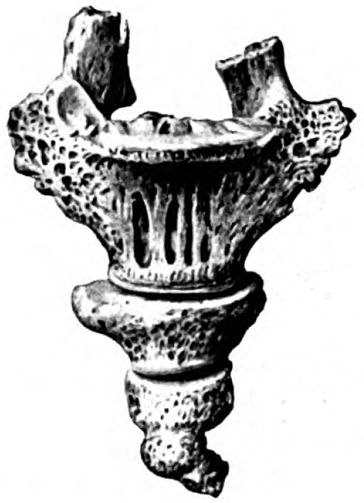 A black and white illustration of a coccyx
