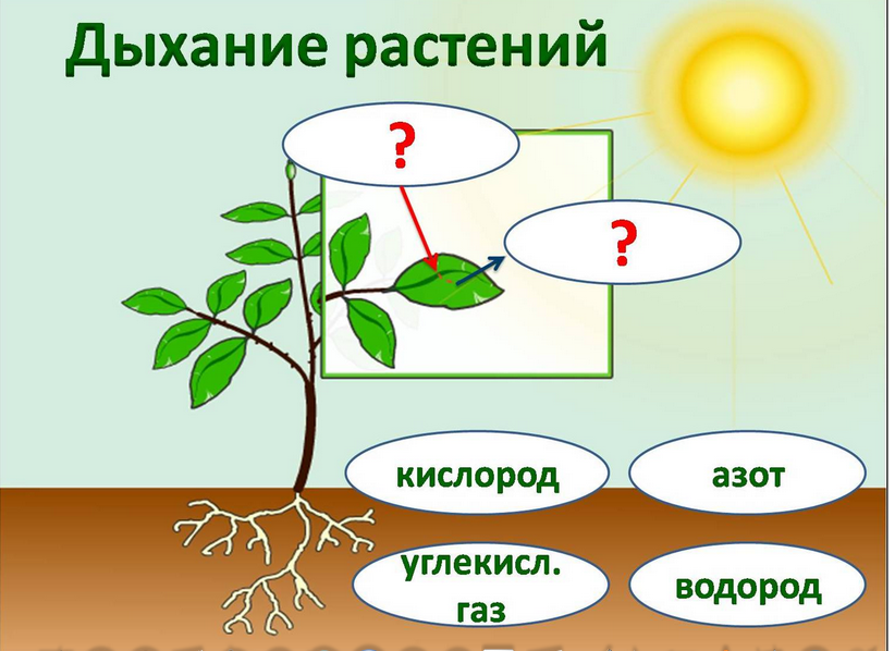 Дыхание растений В почве как