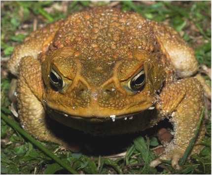 Full Spectrum Biology The Infamous Cane Toad Is 85 Years Long