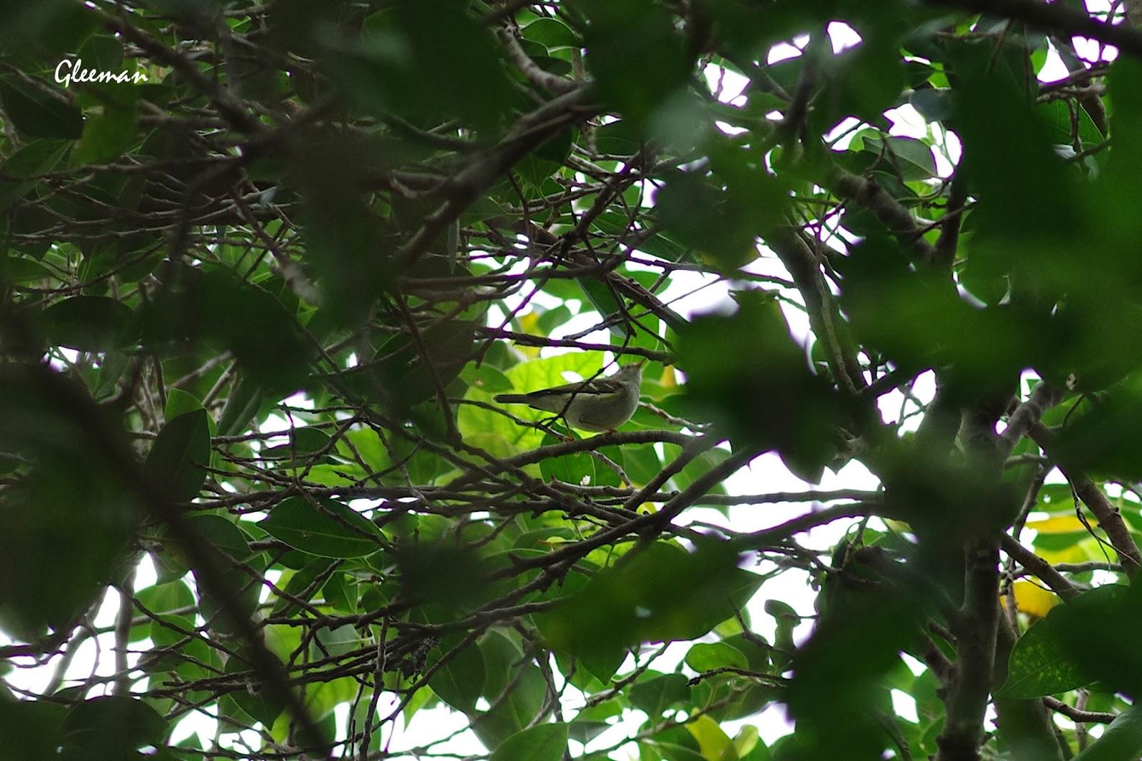 最近樹林裡經常可見這隻新同學黃腰柳鶯(?)