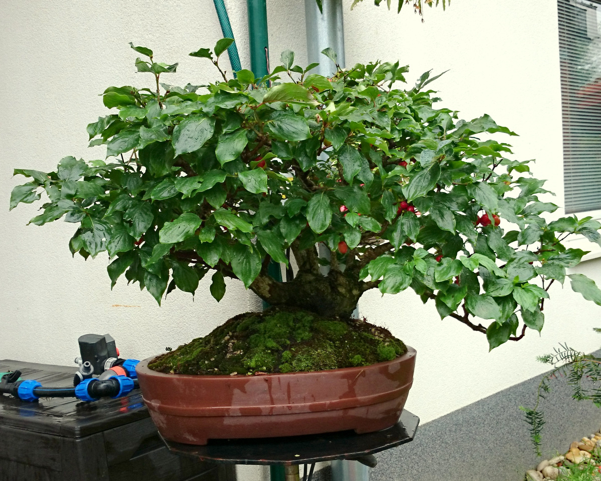 Maros Bonsai Blog Cornus Mas Ready For Harvest