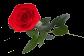 rose pour la saint valentin