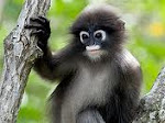 Thomashy leaf monkey (Kedih)