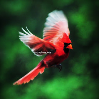 Com question what is the spiritual meaning of the red cardinal bird