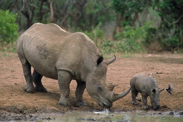 WWF: Badak Indonesia Kritis, Perlu Segera Habitat Baru