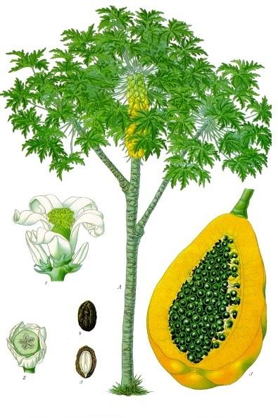 manfaat dan khasiat Carica atau papaya