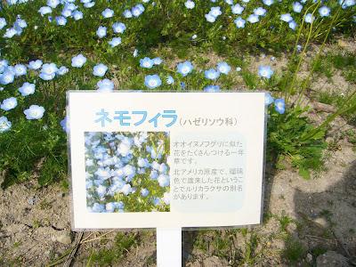 万博公園 ポピーフェア・ネモフィラ