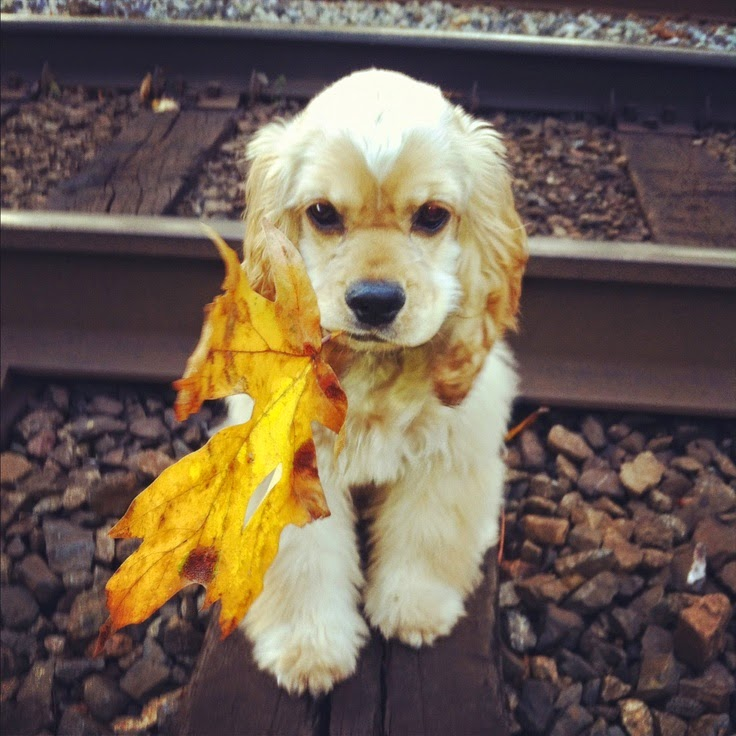 6 month old american cocker spaniel puppy in the fall with a leaf