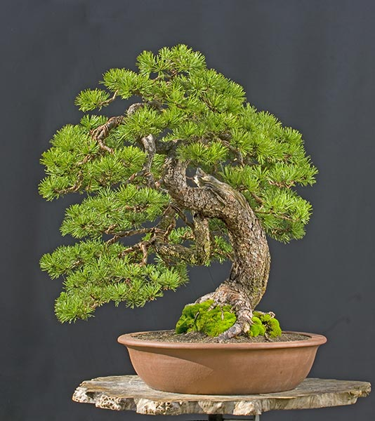 Walter Pall Bonsai Adventures: New Version Of