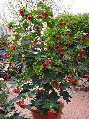 Arte y jardiner a abutillon o arce de sal n - Arce arbol variedades ...