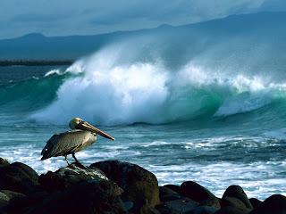 pelikan Galapagos