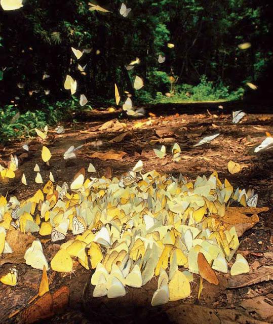 ตระการตาลานผีเสื้อ ในป่าแก่งกระจาน
