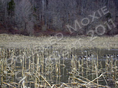 Picture of a flooded cornfield with a variety of waterfowl swimming in it