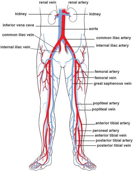CH04 General Terms and Membranes as well Cardiovascular System besides Abdomen likewise Body Cavities And Membranes moreover Side20a. on abdominal viscera anatomical location posterior view