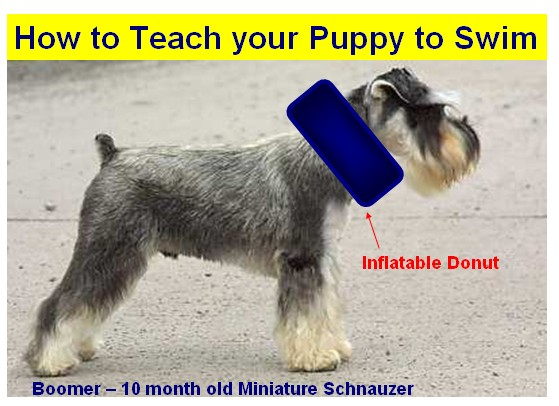 Miniature schnauzers from texas how to train your puppy to swim part one with float aid for How to train your dog to swim in the pool