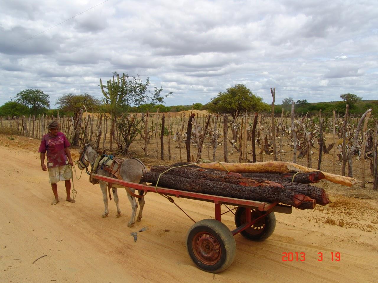 Uso da tração animal na caatinga