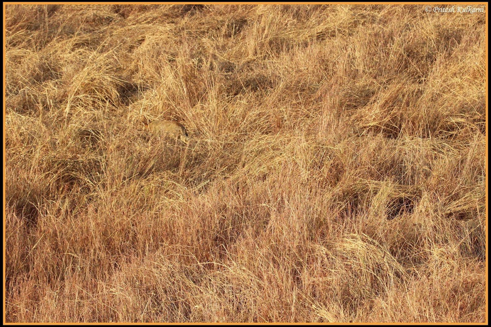 Search Wild cat in this picture in 5 seconds... Perfect example of Camouflage