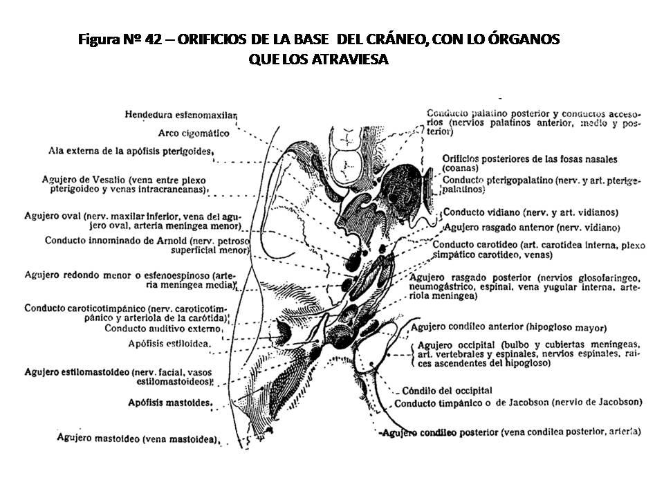 ATLAS DE ANATOMÍA HUMANA: 42. ORIFICIOS DE LA BASE DEL CRÁNEO, CON ...