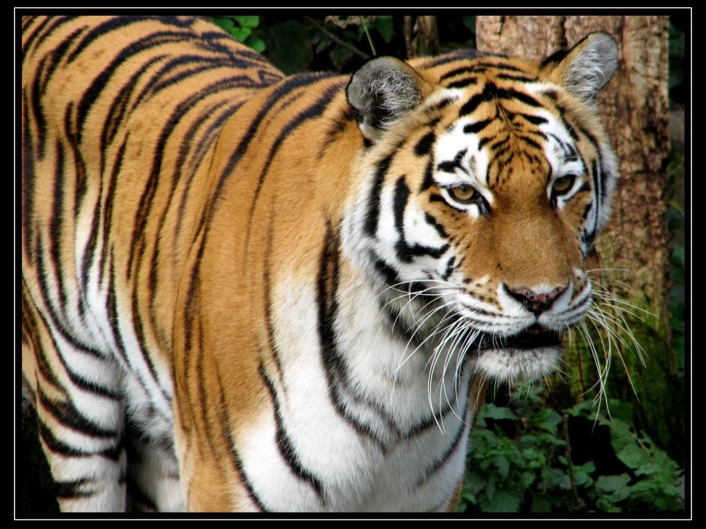 http://4.bp.blogspot.com/-4vcAshaidt8/T8dgSzu5LjI/AAAAAAAAChE/j-HrKIhQWfo/s1600/tiger-in-the-woods.jpg