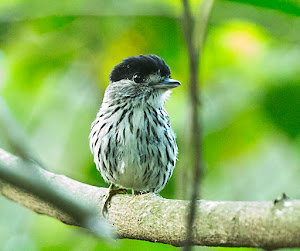 African Broadbill