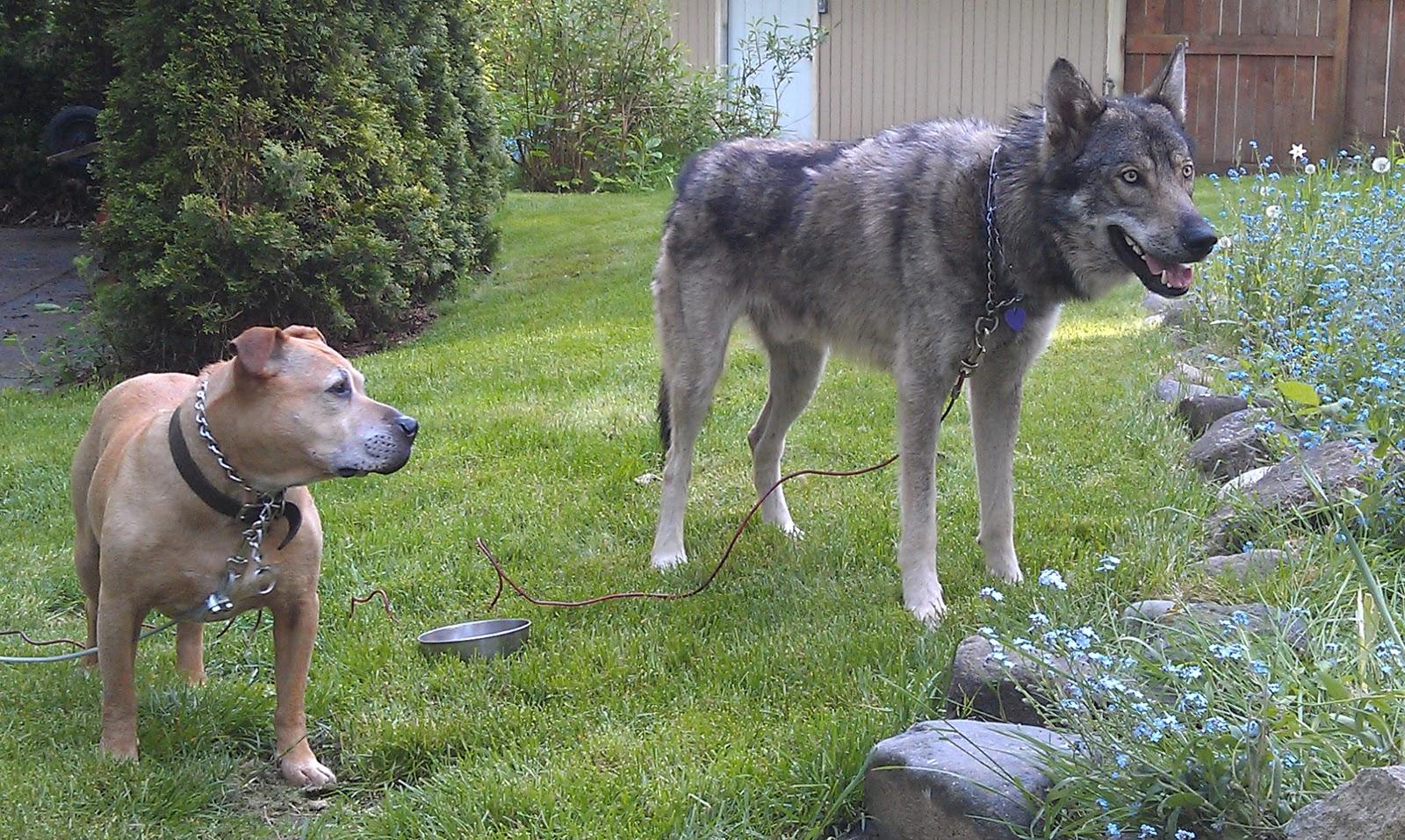 Timber wolf pitbull mix