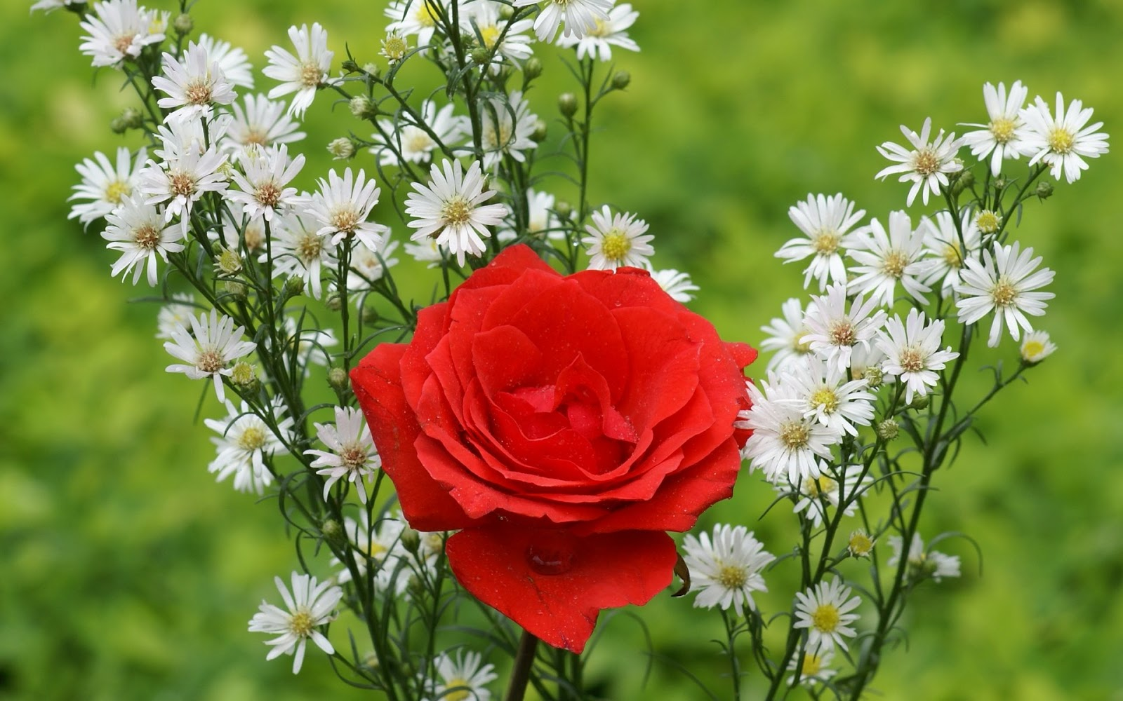 beautiful red rose flowers wallpapers