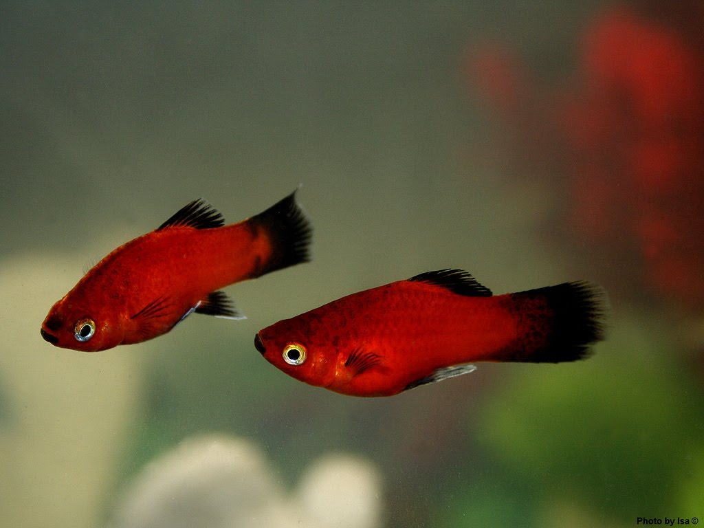 Platies fish care and breeding exotic tropical for Small tropical fish